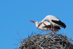 Male and female storks in the nest on blue sky background Royalty Free Stock Photos