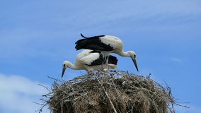Male and female storks in their nest.  stock video