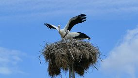 Male and female storks in their nest. Stork flaps its wings and flies. Male and female storks in their nest. Stork flaps its wings and flies stock footage
