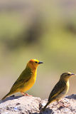 The male and female of taveta golden weaver. Together sit on a stone Stock Photography