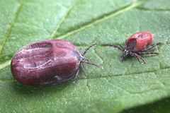 Male and female of tick sit on leaf stock photo
