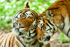 Male And Female Tiger Royalty Free Stock Image