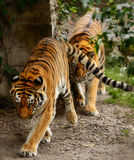 Male and female tigers. Walking in single file Royalty Free Stock Image