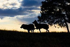Male and female timber wolf at sunset. By tree Royalty Free Stock Image