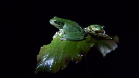 Male and female tree frog. On leaves. filmed at night stock video footage