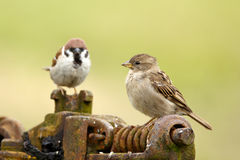 Male and female tree sparrow. Togehter Royalty Free Stock Image