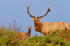 Male and Female Tule Elk in Golden Light. Male and Female Tule Elk standing in Sunset, Point Reyes National Seashore, CA royalty free stock images