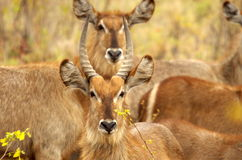 Male and female waterbuck. Portrait of male and female waterbuck in Kruger National Park, South Africa Royalty Free Stock Photo