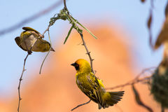 Male and female weaver bird building nest. Etosha National Park, Namibia, Africa Royalty Free Stock Image