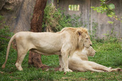 Male and Female white Lions resting. On the grass Stock Photography