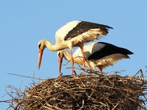White Stork Or Ciconia Ciconia  In Portugal. Male and female white stork or Ciconia ciconia feeding young storks in nest in Faro Portugal stock photography