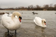 A male and a female white swan in Vienna. A male and a female white swan Cygnus olor in Vienna Royalty Free Stock Photo