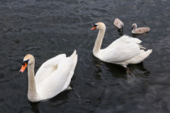 Male and female white swans raise their newborn chicks. Cloudy rainy day rare nature shot Royalty Free Stock Image