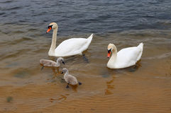 Male and female white swans raise their newborn chicks in cold e. Uropean lake. Cloudy rainy day rare nature shot Royalty Free Stock Photos