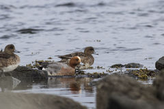 Male and female wigeon that feed in shallow water in the spring. Afternoon Royalty Free Stock Photo