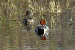 Male and female wigeons swim in a lake in Siberia. Anas penelope. A pair of Wigeon in the spring, swims in the lake on the Yamal Peninsula Stock Photos