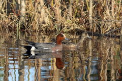 Male and female wigeons on the water in the spring of Siberia Stock Photos