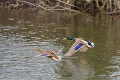 Two wild duck flies over the river. Male and female, wild duck flies over the river Stock Photography