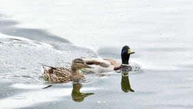Male and female wild ducks swimming in the water. Male and female wild ducks swimming in the river Royalty Free Stock Photos