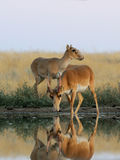 Male and female wild Saiga antelopes near the watering place in. Critically endangered wild Saiga antelopes (Saiga tatarica) at watering in morning steppe Stock Images