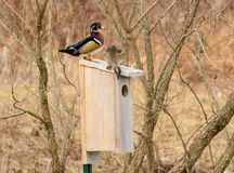 Male and Female Wood Duck looking for nesting