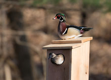 Male and female wood duck Stock Photos