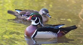 Male and female wood duck swimming. On green water Stock Photo