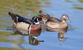 Male and female wood duck. Are swimming together Stock Photo