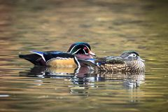 Male and female wood duck in water. A wood duck couple swims together in the small pond at Cannon Hill Park in Spokane, Washington Royalty Free Stock Image