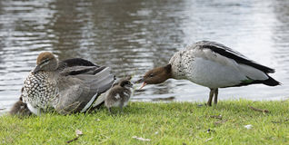 Male and female wood ducks Stock Images