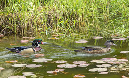 Male and female wood ducks. Royalty Free Stock Photo