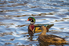 Male and female wood ducks swimming in a pond of High Park - Toronto, Ontario, Canada. Male and female wood ducks swimming in a pond of High Park Royalty Free Stock Image