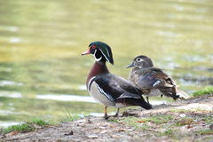 Male and female Wood Ducks beside water. Royalty Free Stock Photography