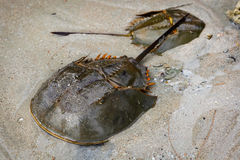 Male and female Xiphosura (Limulus polyphemus) Stock Images