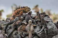 A male  and females of Galapagos Marine Iguana resting on lava rocks. Amblyrhynchus cristatus. The marine iguana on the black stiffened lava.  Galapagos Islands Stock Photos