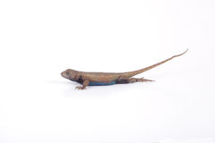 Male Fence Lizard. A male fence lizard isolated on a white background stock photography