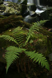 Male fern. In the forest Royalty Free Stock Images