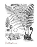 Male fern, botanical vintage engraving. Vintage print describing male fern botanical morphology: semi-evergreen plant grows spontaneous in woodland temperate Stock Photos