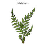 Male fern Dryopteris filix-mas plant with leaves. Hand drawn botanical vector illustration Stock Photography