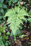 Male fern (Dryopteris filix-mas) Royalty Free Stock Images