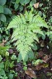 Male fern (Dryopteris filix-mas) Royalty Free Stock Images