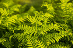 Male fern Royalty Free Stock Image