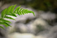 Male fern leaf detail. Fern leaf in deep forest close up Stock Photography