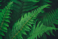 Male Fern leaf detail. Male Fern plant , known as Dryopteris filix-mas, in the forest Stock Photo