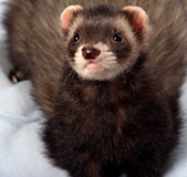Male ferret. Male sable ferret Royalty Free Stock Image