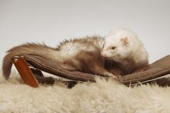 Male ferret of champagne color sitting on sofa stock image