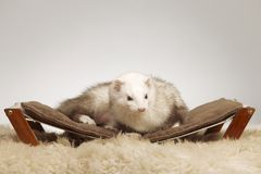 Male ferret of champagne color sitting on sofa royalty free stock photos