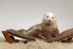 Male ferret of champagne color sitting on sofa stock photography