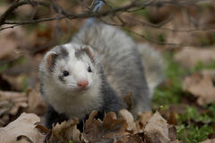 Male ferret in a forest Stock Image