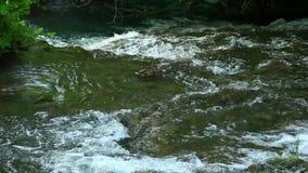 Male Ferruginous duck swimming in river. Panoramic shot of waterfall on Krka river-Croatia stock video
